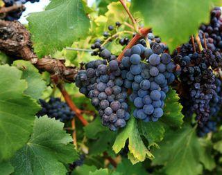 Purple-grapes-vine-7